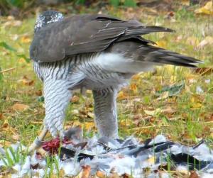 Bild 4: Habicht (Accipiter gentilis, ♀)