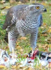 Bild 5: Habicht (Accipiter gentilis, ♀)