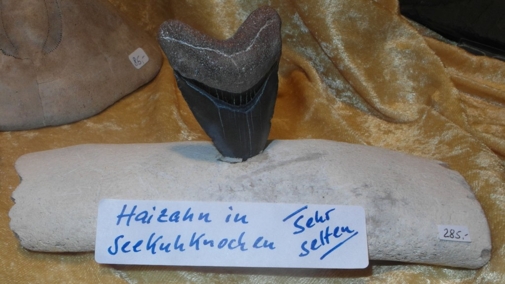 Haizahn in Seekuhknochen zusammen versteinert.
